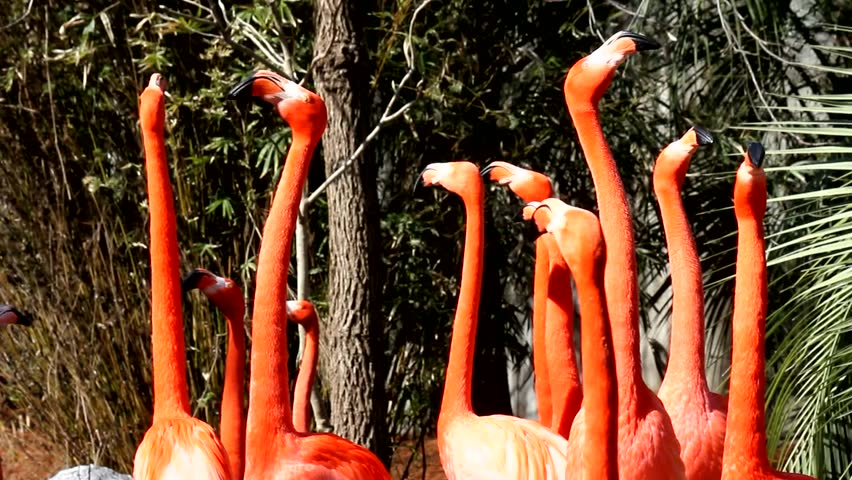 Flamingos. A lively group of Flamingos talk it up with loud squawks and comical moves. A funny visual metaphor for noisy chatter, gossip, excitement, or team spirit. A fixed shot from the neck up.