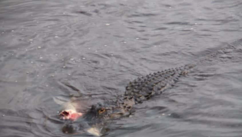 Alligator attacking a large carp - HD stock footage clip