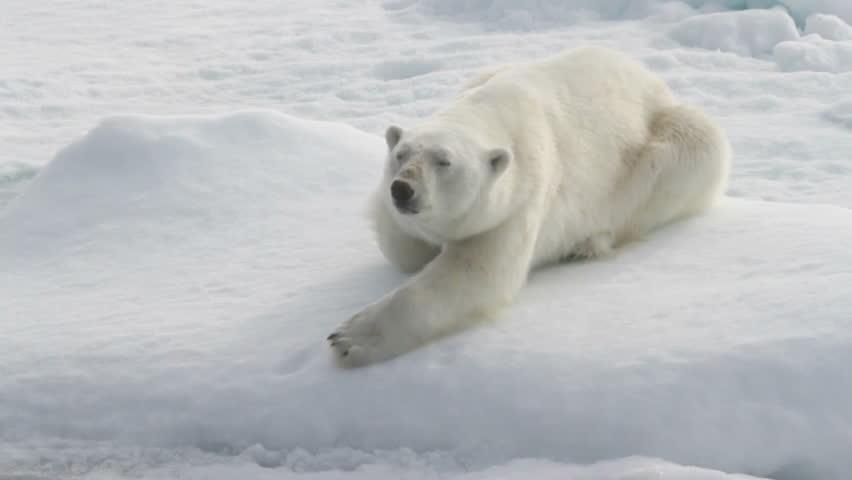 Polar bear lying on sea ice north of Svalbard.