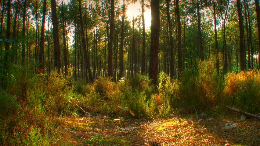 Sunset beams through trees in forest, HD motorized time lapse clip, high dynamic