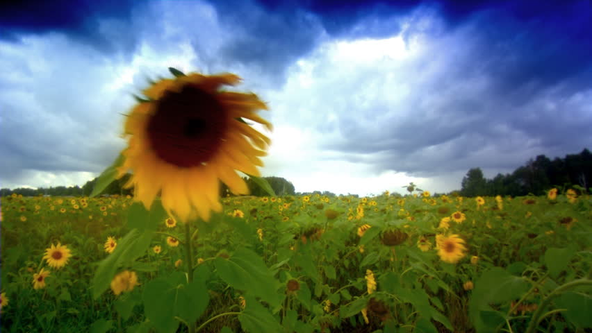 Stock video footage Close up shot of sunflower in breeze. Seamless loop background - HD stock footage clip