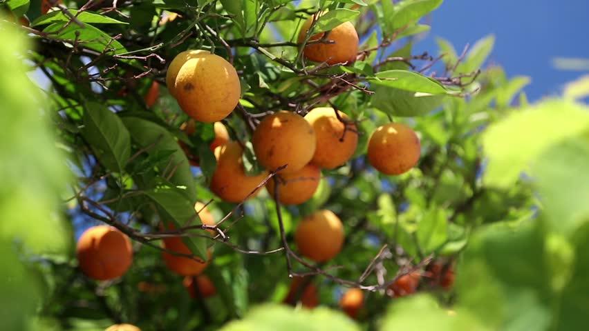 Orangery. Orange trees with fruits on plantation