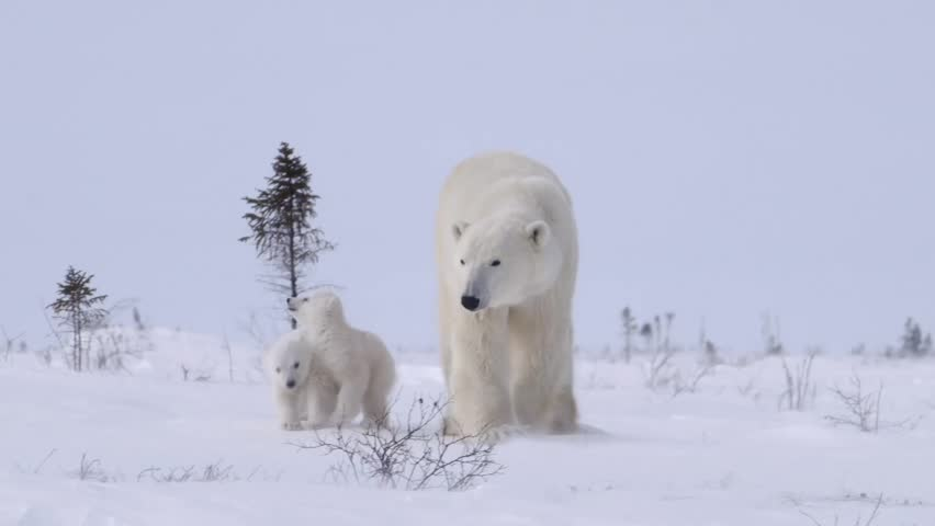 Pair of polar bear cubs walking with their mother.