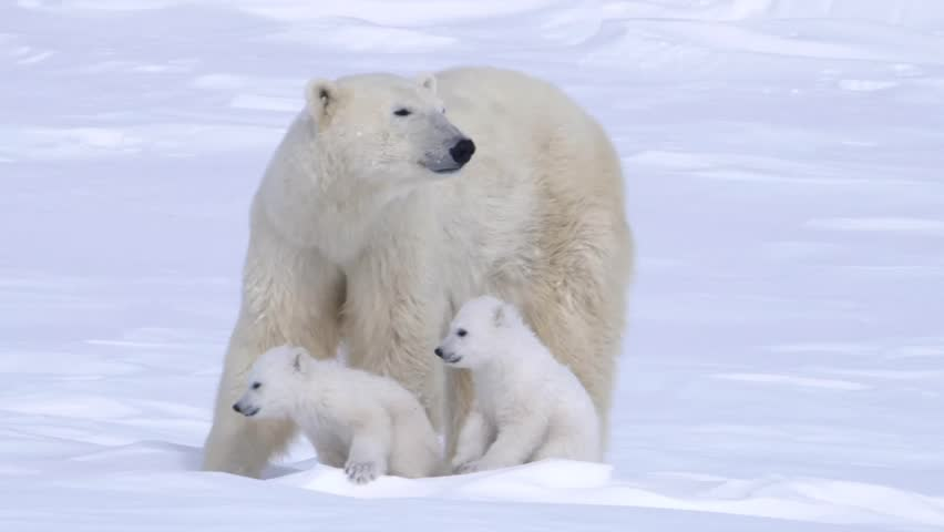 Pair of polar bear cubs sitting with their mother.