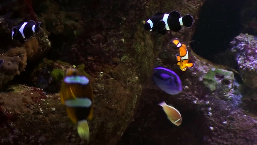 clown fish in aquarium tank - HD stock footage clip