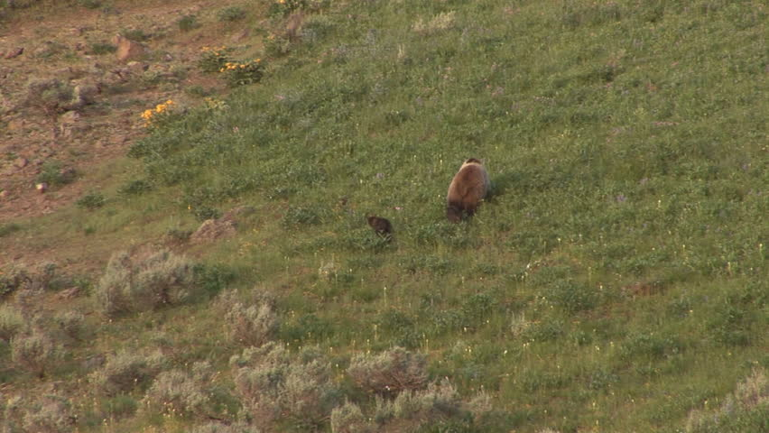 Grizzly with cubs playing, Yellowstone National Park - HD stock footage clip