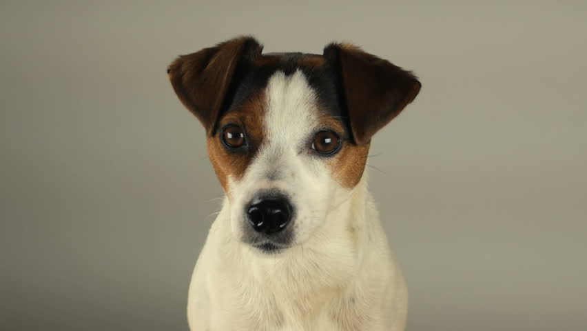 Cute inquisitive Jack Russell Parsons Dog tilts head to side