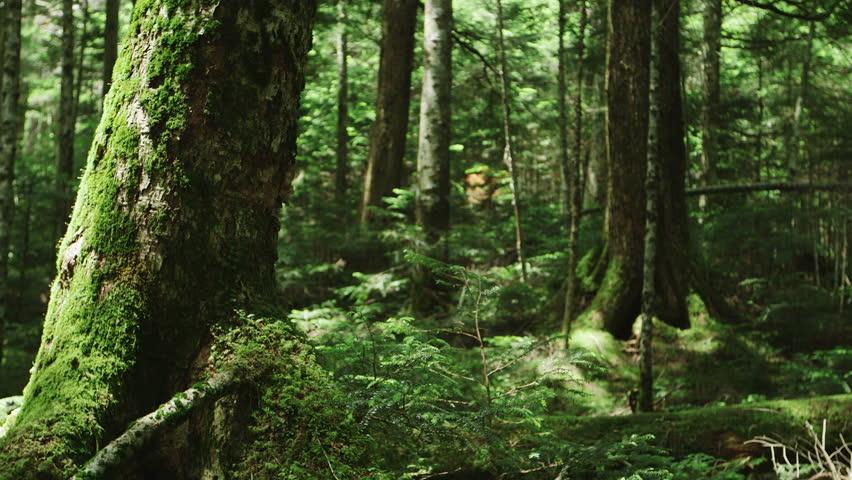 Moss Forest Northern Yatsugatake Japan Stock Footage