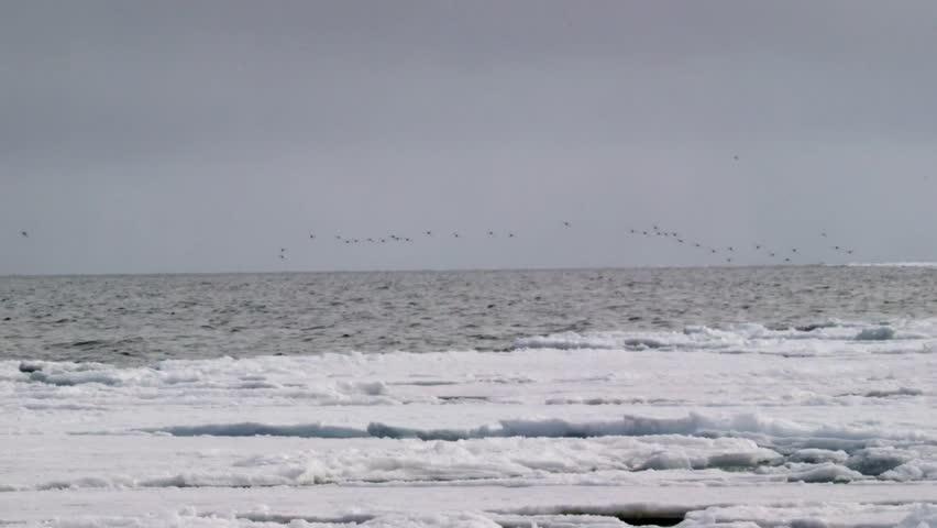 Murre birds flying over the Arctic landscape.