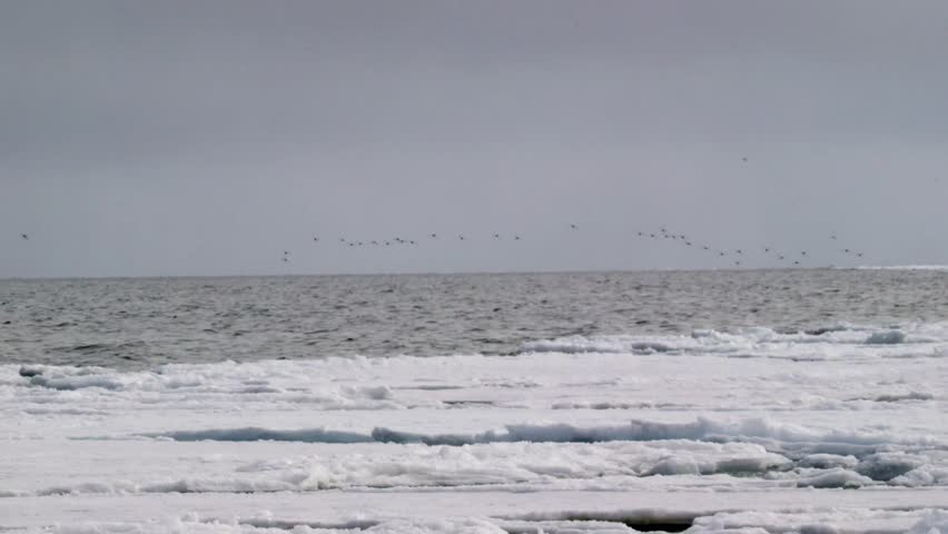 Murre birds flying over the Arctic landscape.