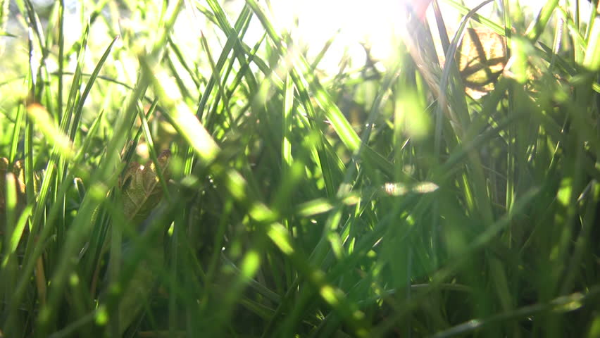 A closeup view of green grass as it's illuminated by the sunlight.  - HD stock video clip