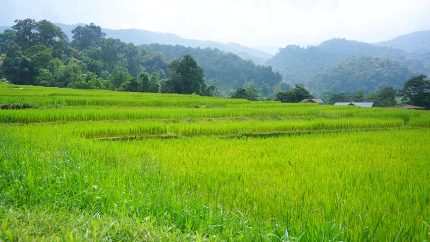 Rice Paddy Field With Time Lapse Sunlight Stock Footage ...