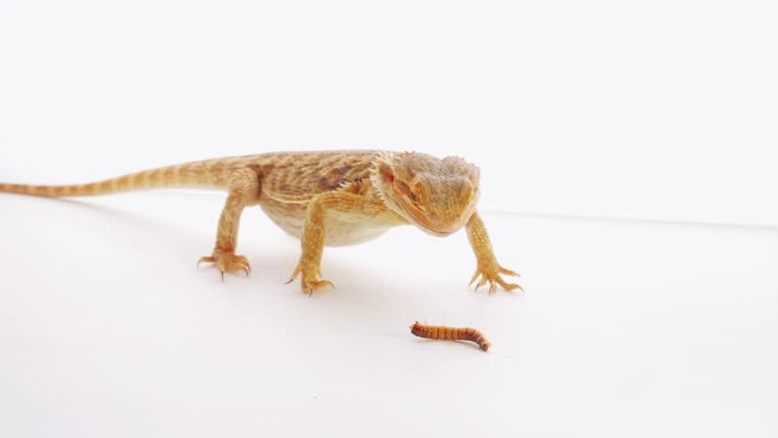 Lizards Eat Worms Lizard Eating Zophobas