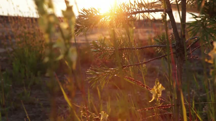 young pine swinging in the wind through the branches punched rays of the setting sun