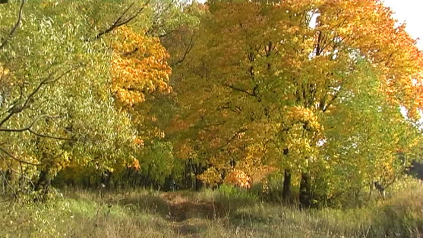 Maples avenue in autumn deciduous forest - PAL Anamorphic 16:9 - SD stock video clip