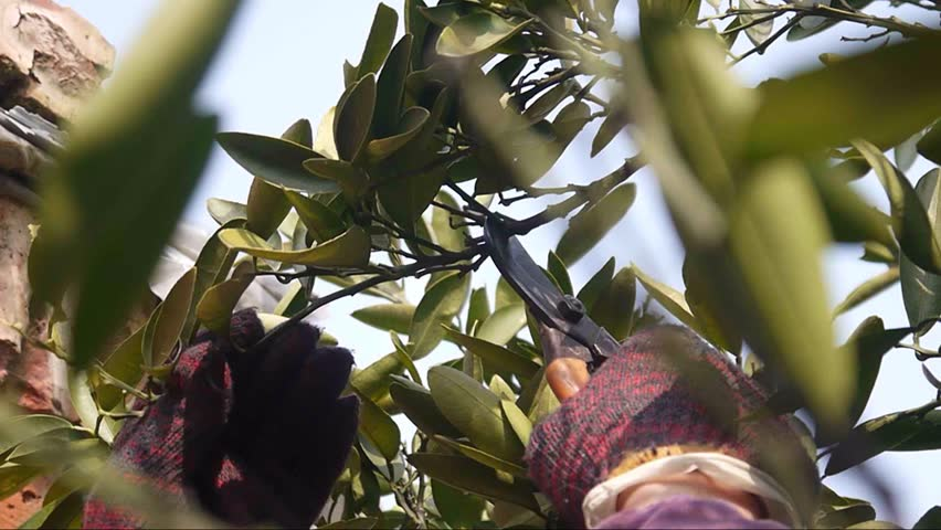 pruning branch with secateurs - HD stock video clip