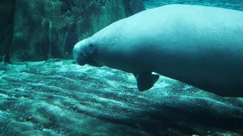 Manatee in aquarium stock footage video 5842358 shutterstock Manatee aquarium