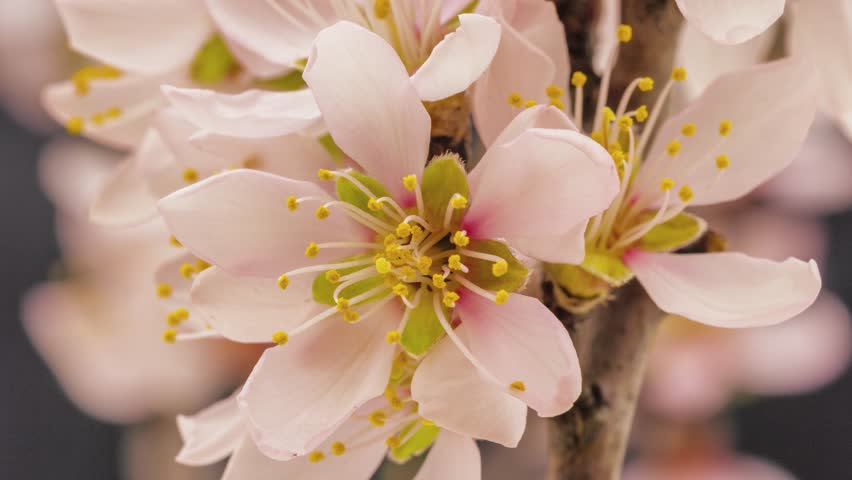 4k 25 fps time lapse video of an apricot flower growing on a dark background/Apricot flower time lapse