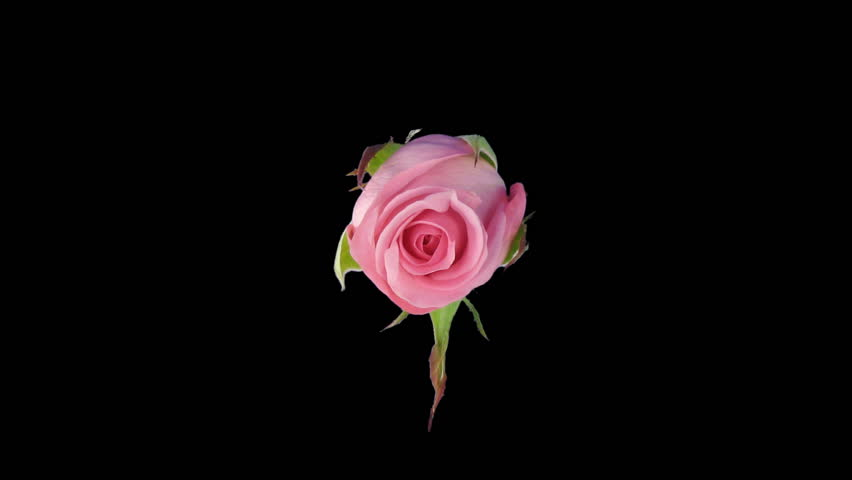 """Time-lapse of opening """"Blushing Akito"""" rose"""