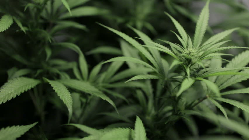 Slight pan across a marijuana plant