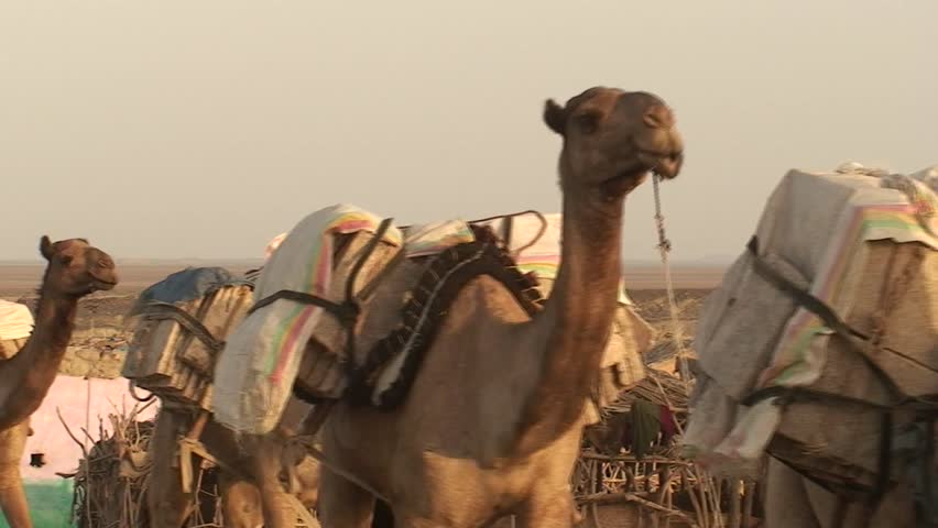 Camels, transporting salt in the ethiopian Danakil Desert,  close to  the Dalol volcano, village Ahamed Ale - HD stock footage clip