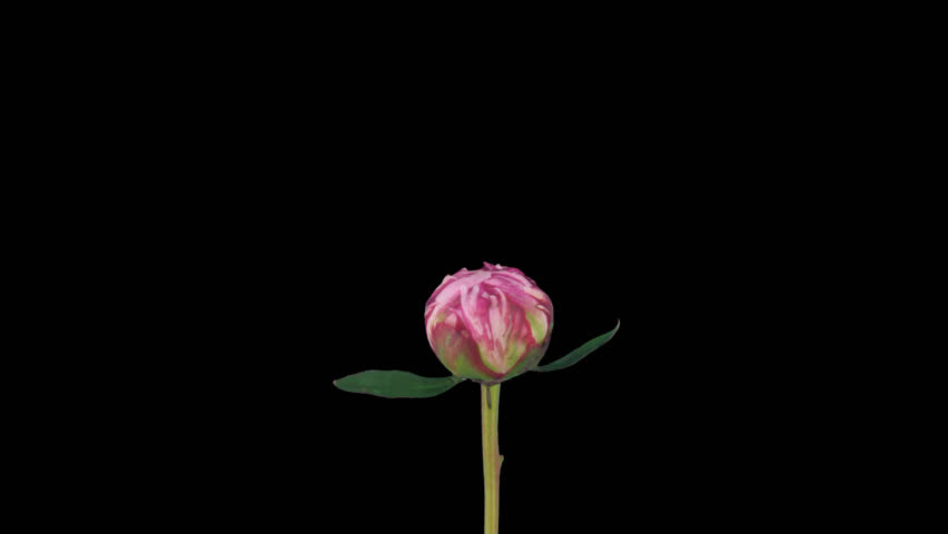 Time-lapse of opening pink peony (Paeonia) flower 1a1 in PNG+ format with alpha transparency channel, isolated on black background.