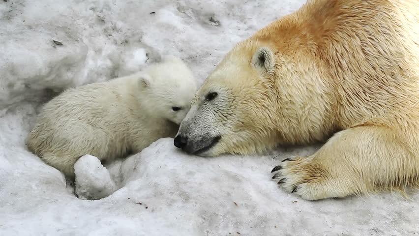 Polar She-bear pressed the muzzle to bear baby, flirting with him. Bear baby falls asleep