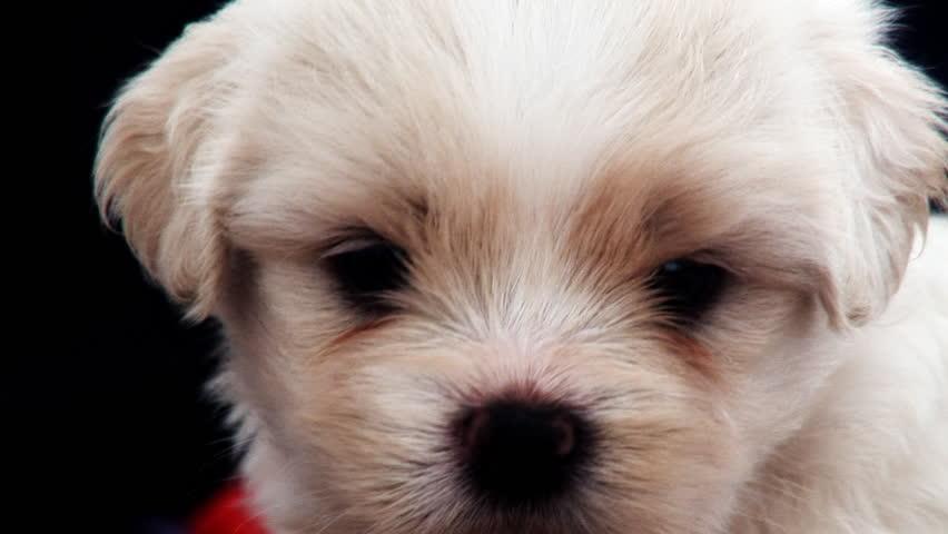 Single Cute White Puppy - HD stock footage clip