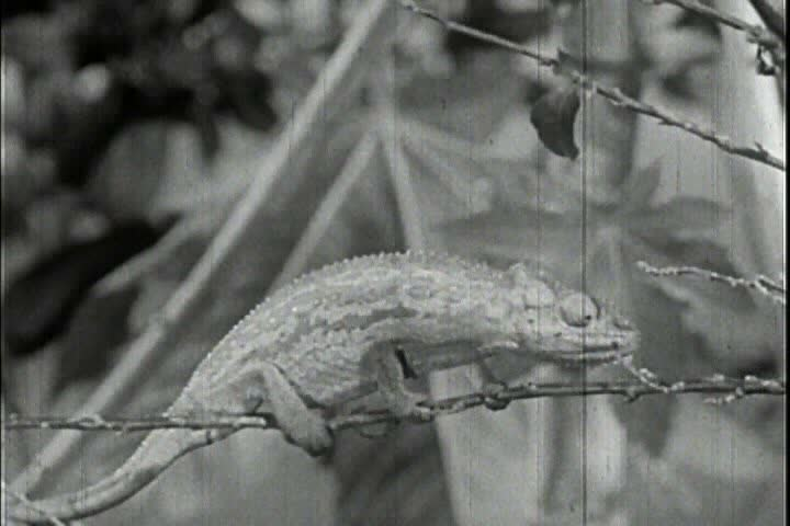 CIRCA 1950s - Lizards eat insects in 1956.