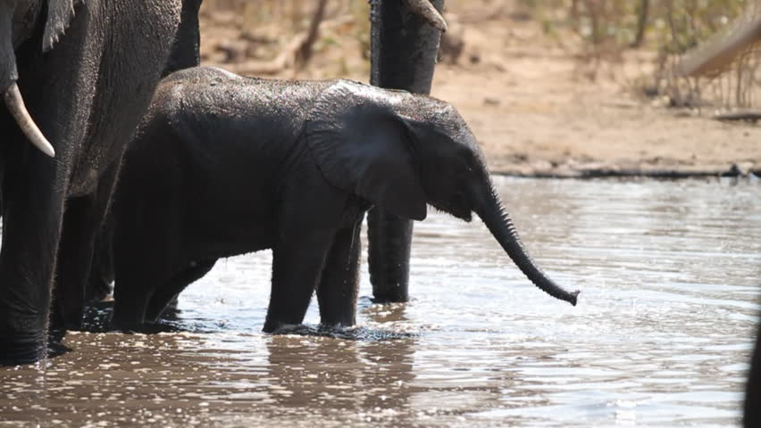 Close up of African elephant calf drinking in the river with herd