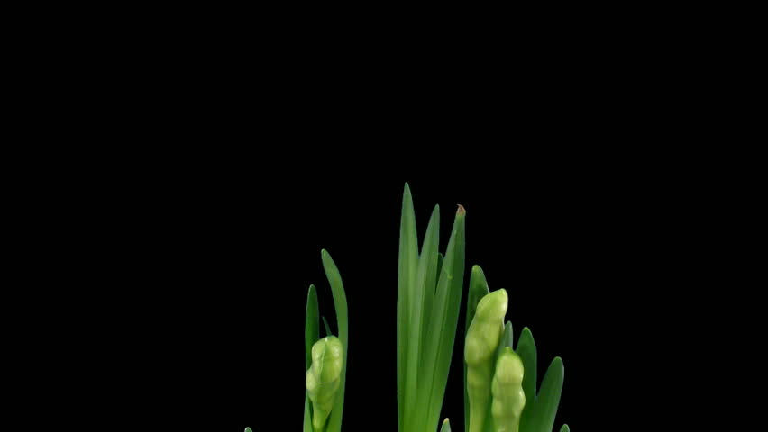 """Time-lapse of growing narcissus """"Erlicheer"""" flowers alpha matte 1a"""