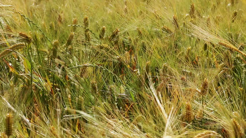 HD 1080: wheat fields at summertime