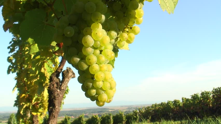 HD 1080i: Sunny cluster of green grapes on vine with vineyards and landscape in the background. Tripod. - HD stock video clip