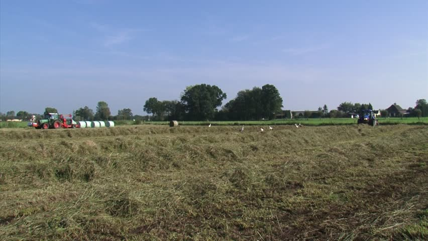 Haying in Holland. A tractor with a rotary rake forms a windrow, another one with a round bale slicer bales the hay, while white storks are foraging between the hay rows. - HD stock video clip