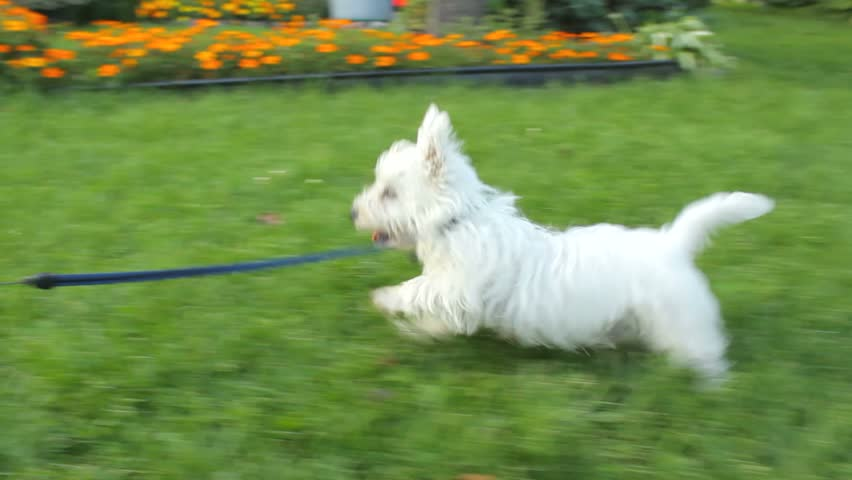 Girls With Little Young Adorable White Dog Running In The ...