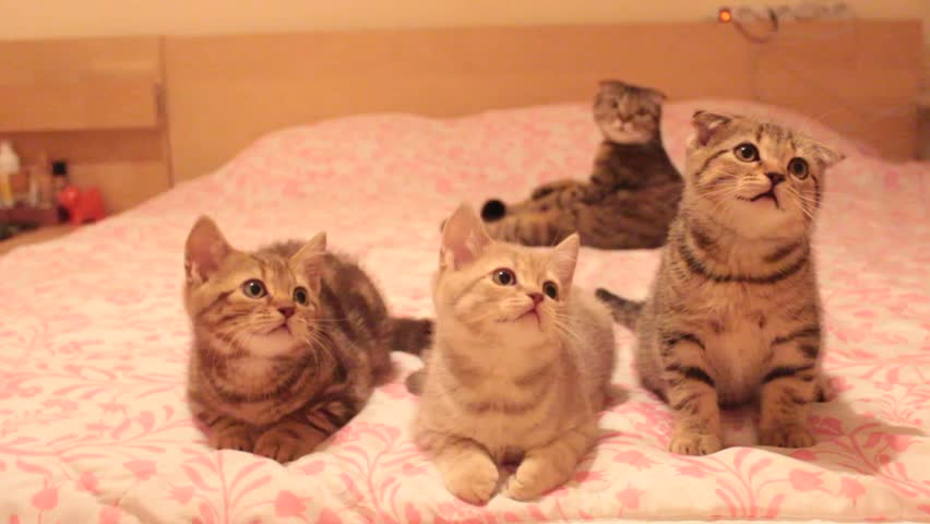 Funny scottish fold cats move their heads back and forth and seem to talk. Silly cat family sing on the bed.