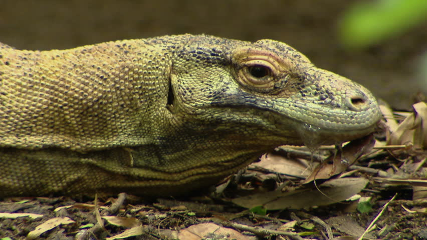 Monitor Lizard Neck Movement - HD stock footage clip