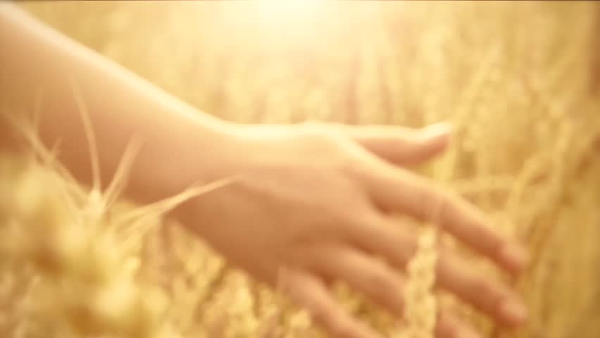 Woman's hand running through wheat field. Girl's hand touching wheat ears closeup.Harvest concept. Harvesting. Slow motion video footage 240 fps. Full HD 1080p - HD stock video clip