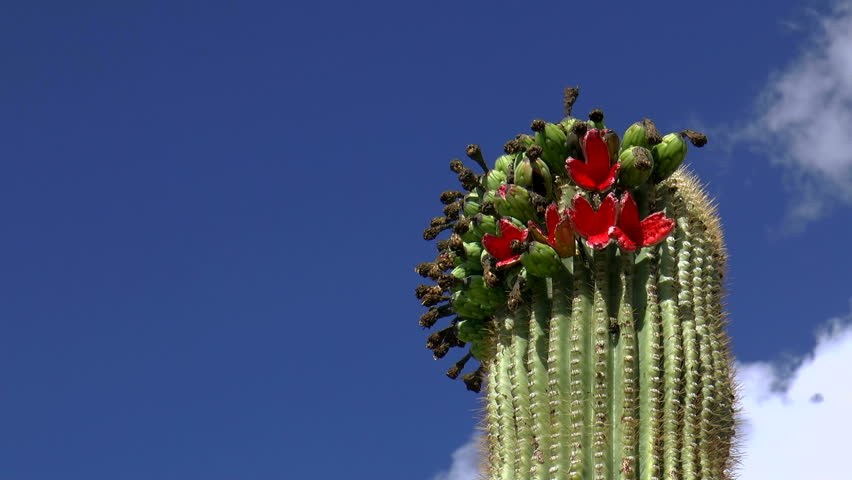 Doves Perch Atop Blooming Saguaro Cactus Red Flowers, Eat ...