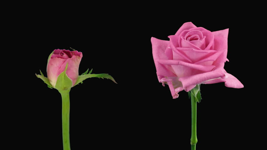 """Time-lapse of opening and dying """"Aqua"""" rose alpha matte 14d  - HD stock video clip"""