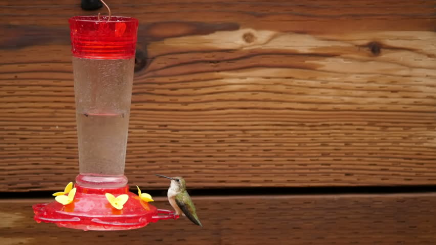 Female Broad-tailed Hummingbird, flies in and feeds from a feeder, in Northern Arizona. HD 1080p 2.5x Slow motion. Part 4 of 4. - HD stock video clip