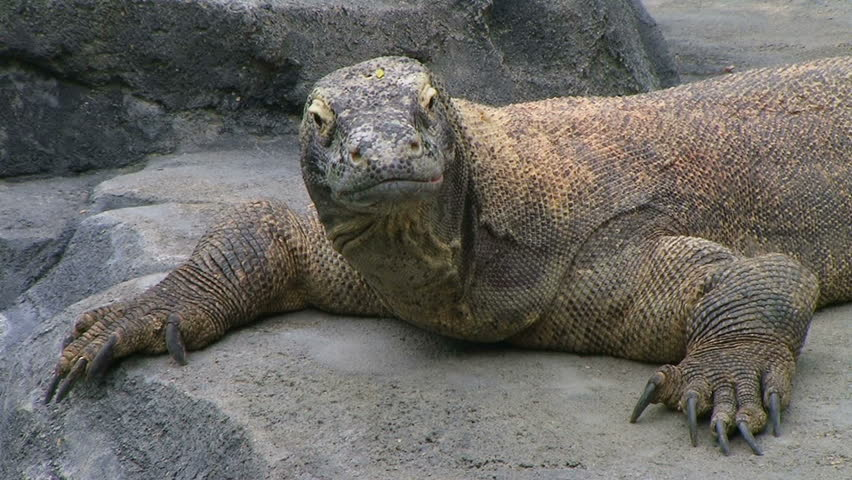 Komodo dragon, largest living species of lizard, looking around while laying on rock.  - HD stock video clip