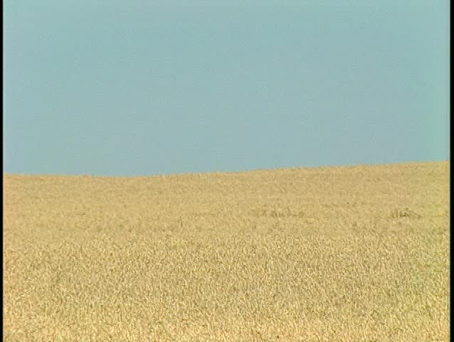 yellow combine harvesting wheat off in distance (BetacamSP) - SD stock video clip