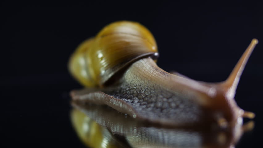 Large snail crawling on a glass surface - 4K stock video clip