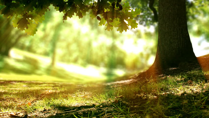Seamless loop of an Oak tree in golden sunlight in a forest or park. Spring time nature background. Copy space.