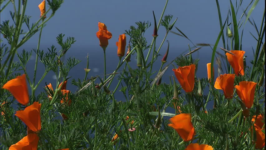 Waves of the Pacific crash in to a rocky coast in California with green grass and orange flowers - HD stock video clip
