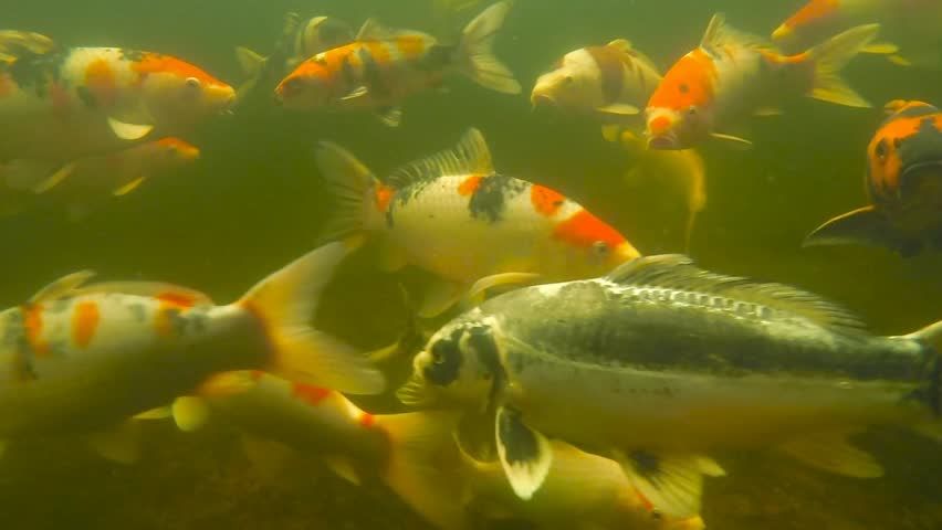 Koi pond underwater video stock footage video 7002265 for Koi pond hd