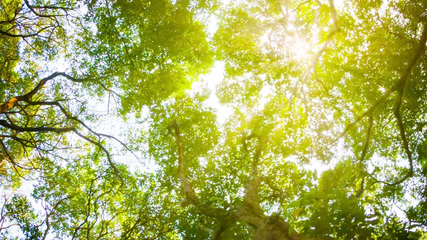 Video 1080p - Crowns of trees with bright afternoon sun and rays.
