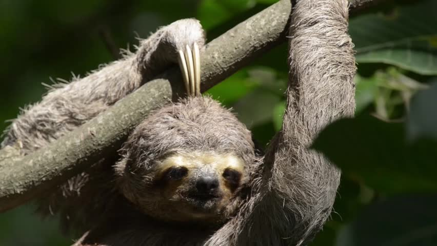 Sloth hanging and moving on tree branch