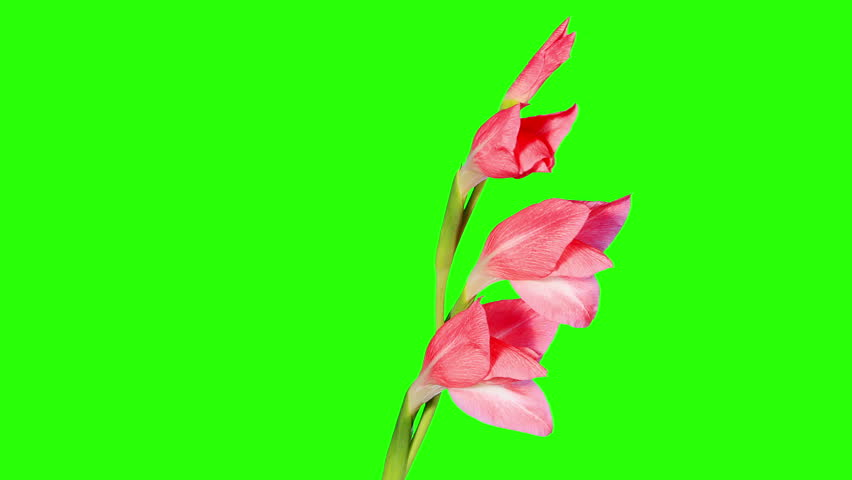 Thanos Home Green Screen Hd 60 Fps: Blooming Pink Gladiolus Flower Buds ALPHA Matte, FULL HD